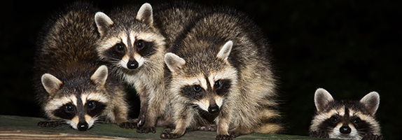 Several Raccoons